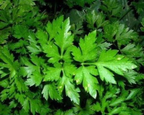 Зелень польза и вред для организма. Польза и вред зелени