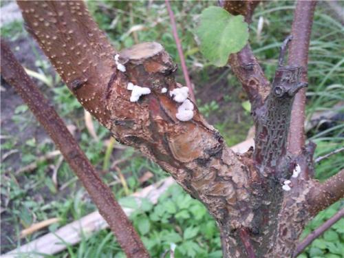 Как предупреждают заражение деревьев грибами трутовиками ответ краткий. Как предупреждают заражение деревьев грибами трутовиками на даче