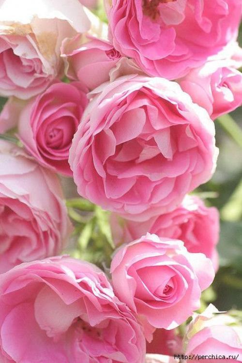 Маска из лепестков роз. Рецепты из лепестков роз