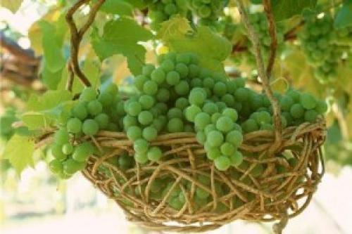 Виноград для кожи лица. Для лица виноград – лучшее средство для уставшей кожи