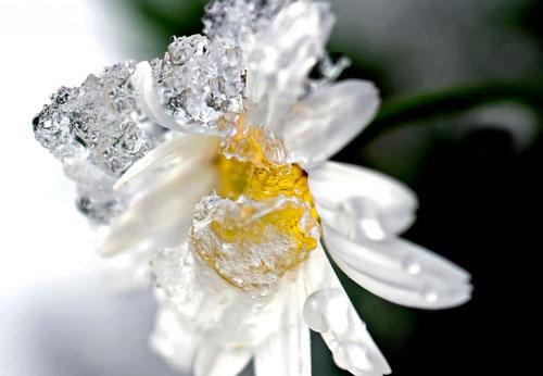 Умывание льдом с ромашкой. Лед из ромашки для лица, показания и противопоказания