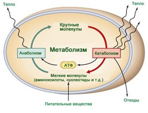 Препараты улучшающие метаболизм в организме. Что такое метаболизм?