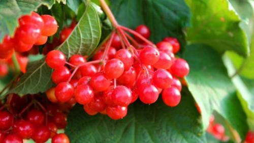 Чем полезна калина для мужчин. Полезные части растения (плоды, косточки, кора, цветки)