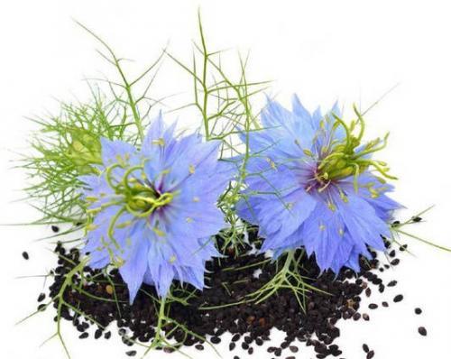 Очищение организма черным тмином. Черный тмин – полезные свойства и противопоказания, применение семян и масла
