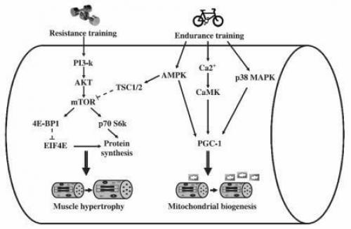 Силовые и кардио. Фактор 1: молекулярные сигналы