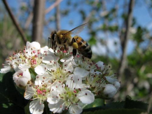Рябина красная протертая с медом. Особенности и полезные качества