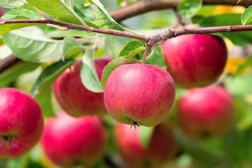 Яблочный разгрузочный день для похудения. Как употреблять яблоки для похудения