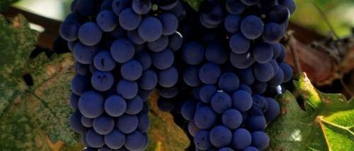 Виноград, как мочегонное средство