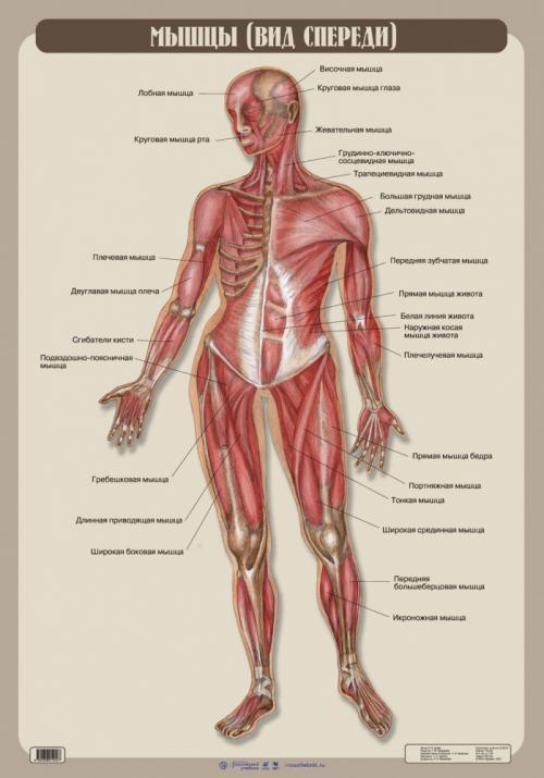 Таблица по анатомии мышцы. Определение мышц