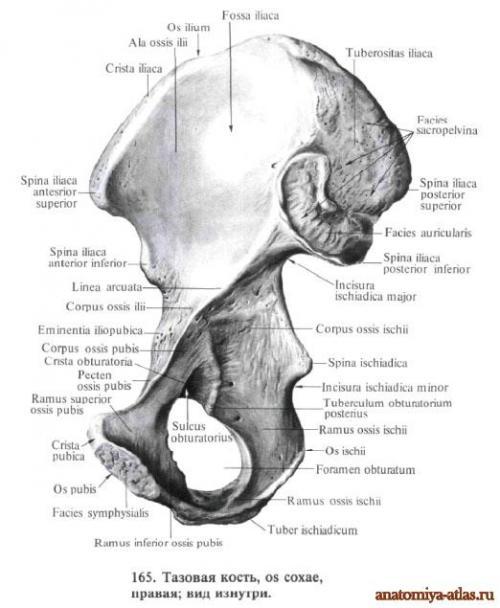 Кости таза. Тазовая кость.