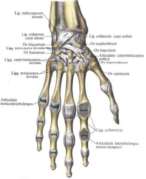 Каким по форме поверхностей является articulatio carpometacarpea pollicis. Запястно-пястные суставы.
