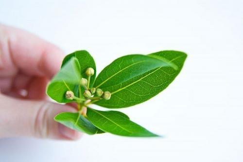 Мазь из листа лаврового листа. Лечение лавровым листом.