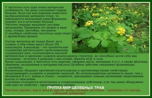 Чистотел считается ядовитым растением, но обладает лечебными свойствами, его название говорит о предназначении этого растения.