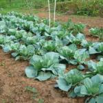 Как правильно выращивать рассаду капусты.